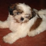 There's A Shih Tzu Puppy In The House