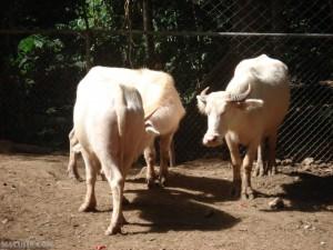 Albino Carabaos
