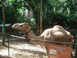 Camel Daw Sya
